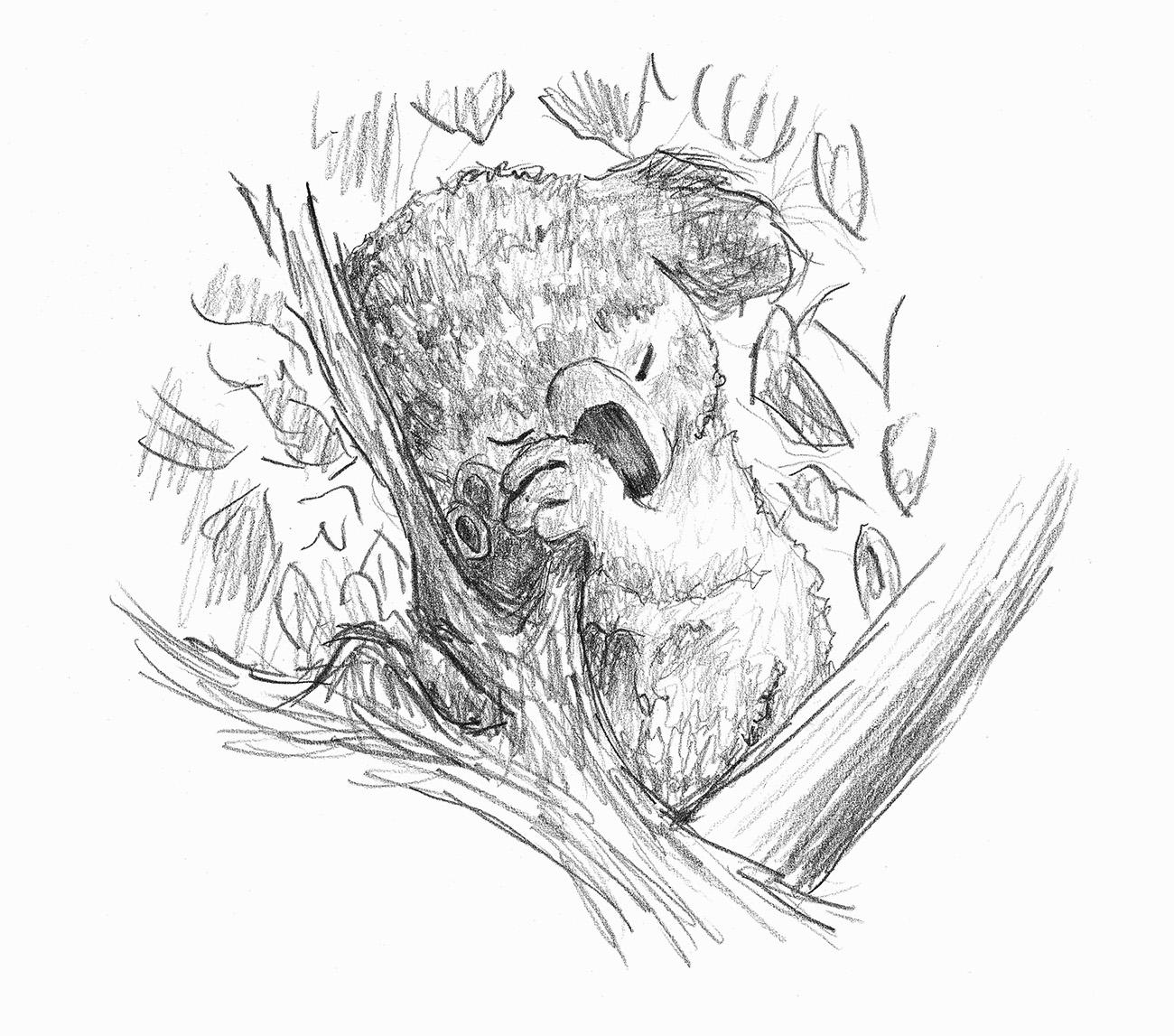 Skizze eines schlafenden Koalas im Baum